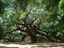 220px-Angel_Oak_Tree_in_SC